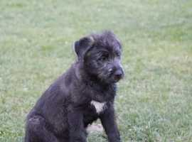 Wolfhound x pup