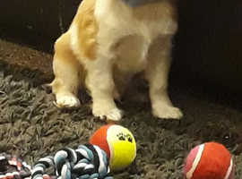 cavalier king  charles  puppies sale