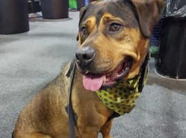Rottweiler staff cross dog