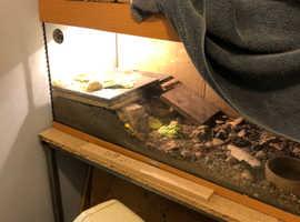 X2 tortoises and tank set up sun lamp mat etc