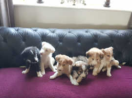 Adorable Collie x Lurcher puppies