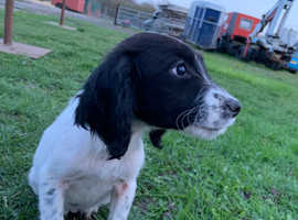 LAST MALE SPRINGER PUP LEFT!