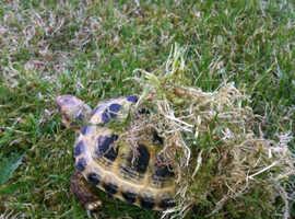 Tortoise for sale
