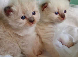 Registered Kittens For good homes