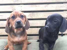 Gorgeous Daug (dachshund x Pug) Pups