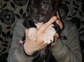 Aylestone bulldog cross staffy