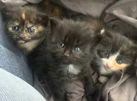 3 baby kittens orange & black