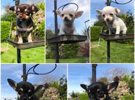 5 pedigree chihuahua puppys