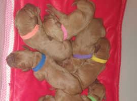 KC REG Hungarian Vizsla puppies 4 dogs 1 bitch left