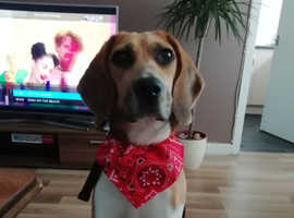 Beautiful female beagle