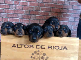 Miniature dachshund puppys PRA CLEAR