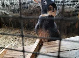 Black tan buck