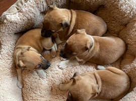 Plummer terrier puppys