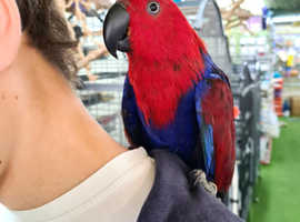 Eclectus Talking parrot Female hand Tamed