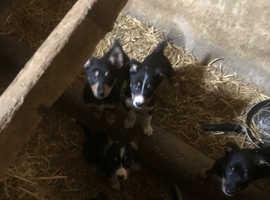 Border puppies