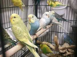 HIGH QUALITY Baby Budgies [£20 EACH] For Sale + Cages From £25