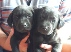 Quality KC pups for sale