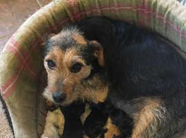 Border Terrier/ Patterdale