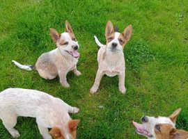 KC Registered Australian Cattle Dog pups