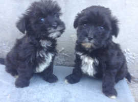 Shitzue x poodle puppies