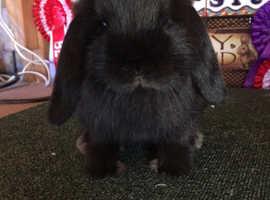 Black mini lop buck