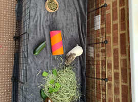 2 male guinea pigs and set up