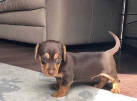 Jackrussell x dashound