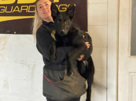 Top of the Top pure black East German working line female pup