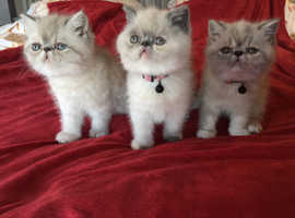 Exotic short hair Persian's