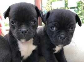 Gorgeous black JUG (Jack x Pug) female pups