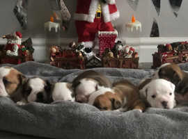 British bulldog puppies tri carriers