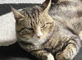 PLEASE HELP!!! Missing my boy tabby cat