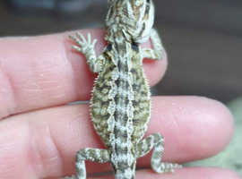 Baby bearded dragon