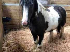 For sale 13 hh 9yr old black and white cob mare  selling as project pony,  companion or brood mare.  She has lovely movements  but unfortunately we do