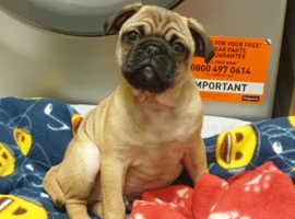 12 week old pug