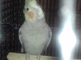 Cockatiel and cage for sale
