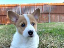 Gorgeous KC reg Pembroke Corgi Puppies for sale