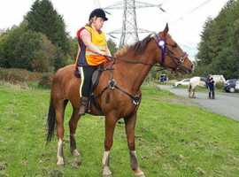 Wanted youngster cheap or free to good home  16hh +