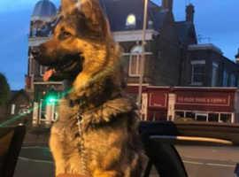 Beautiful Male German Shepherd dog for sale