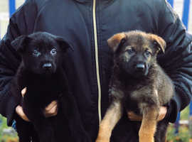DDR Czech Shepherd X Belgian Shepherd Puppies