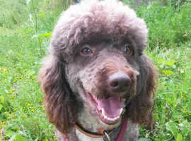 Chocolate Miniature Poodle available for stud