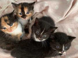 Tiffanie kittens for sale