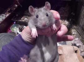 2 male rats