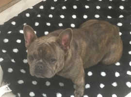 French bulldog wanting a loving home