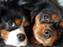 Pedigree Cavalier King Charles Puppies