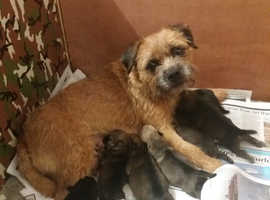 KC registered Border Terrier puppies for sale