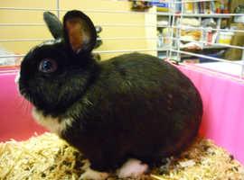 Female Rabbit (Dutch Cross) - 18 Months, Plus Indoor Cage
