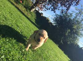 Chunky cheeky goldador puppies