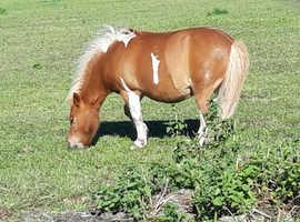 Mini shetland lead rein pony for loan