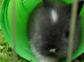 Double maned lionhead rabbit
